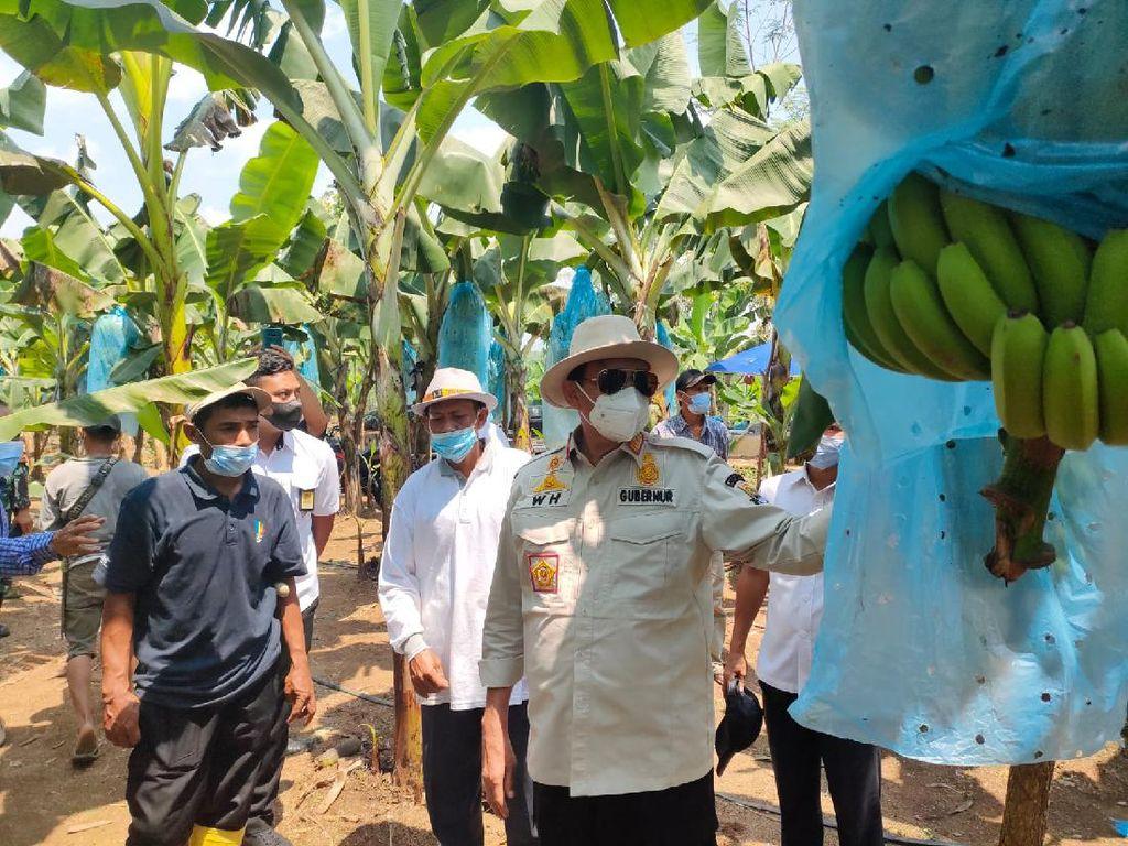 Gubernur Banten Ungkap Potensi Kebun Pisang di Lebak Seluas 12 Hektare