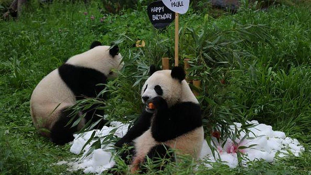 Lucunya Bayi Panda Kembar di Berlin saat Rayakan Ultah