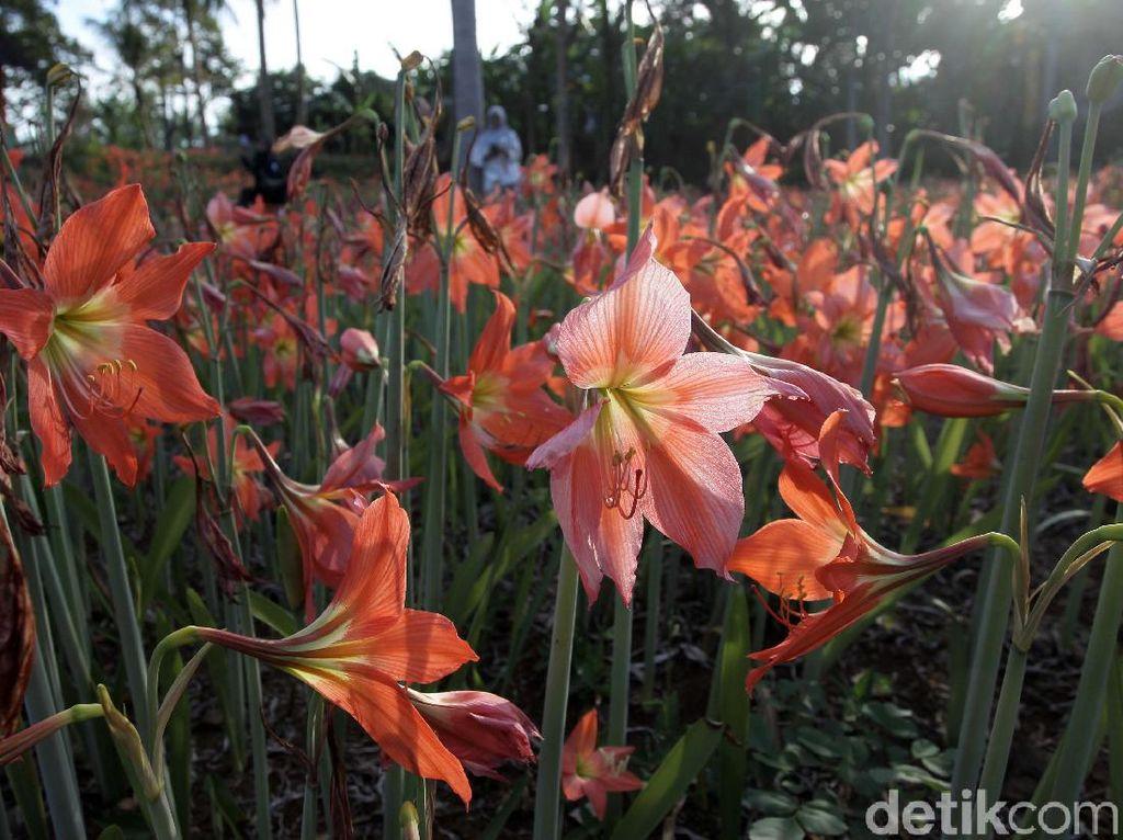 Potret Bunga Amarilis Bermekaran di Gunungkidul