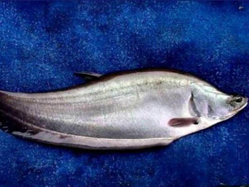 Ikan Belida, Maskot Palembang yang Mulai Langka