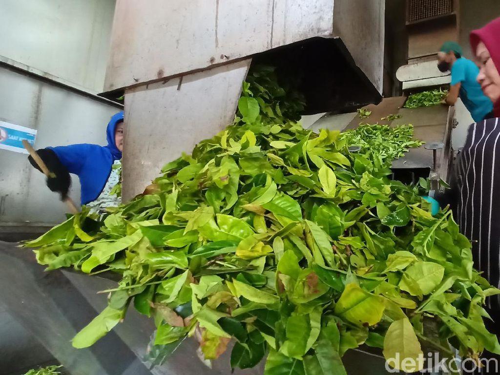 Melihat Proses Mencari Teh Berkualitas di Kebun Gambung Bandung