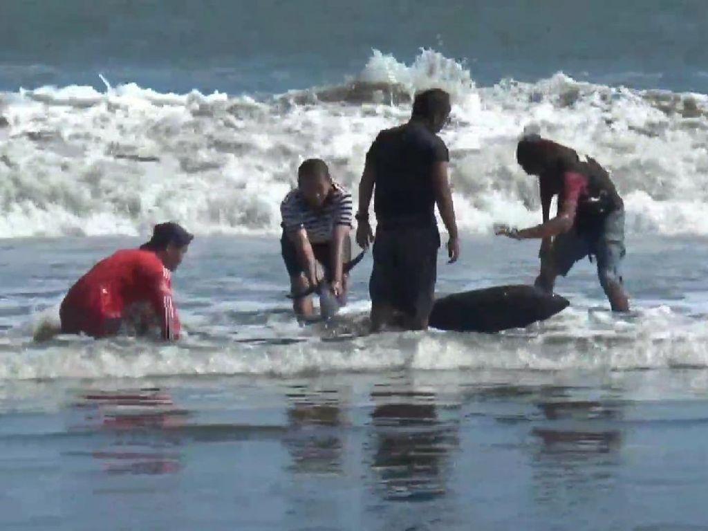 Lumba-lumba Terdampar di Pantai Selatan Tulungagung, Ini Penyebabnya