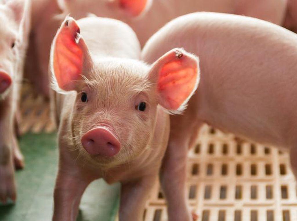 4 Kisah Awal Mula Daging Babi Diharamkan untuk Muslim
