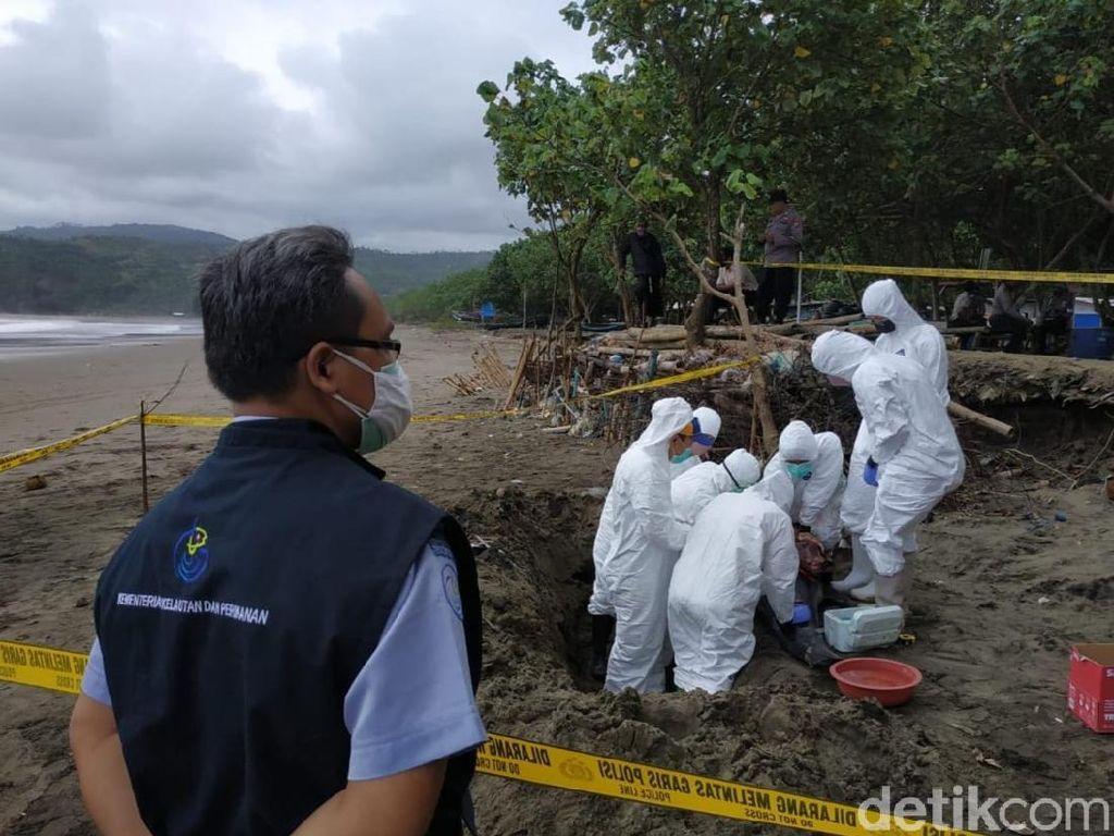 FKH Unair Teliti Bangkai Lumba-lumba Terdampar di Pantai Tulungagung