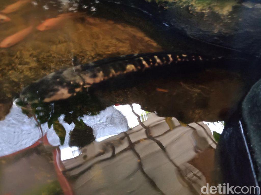 Analisis Peneliti LIPI Soal Ikan Buas di Dekat Terowongan Kuno Klaten