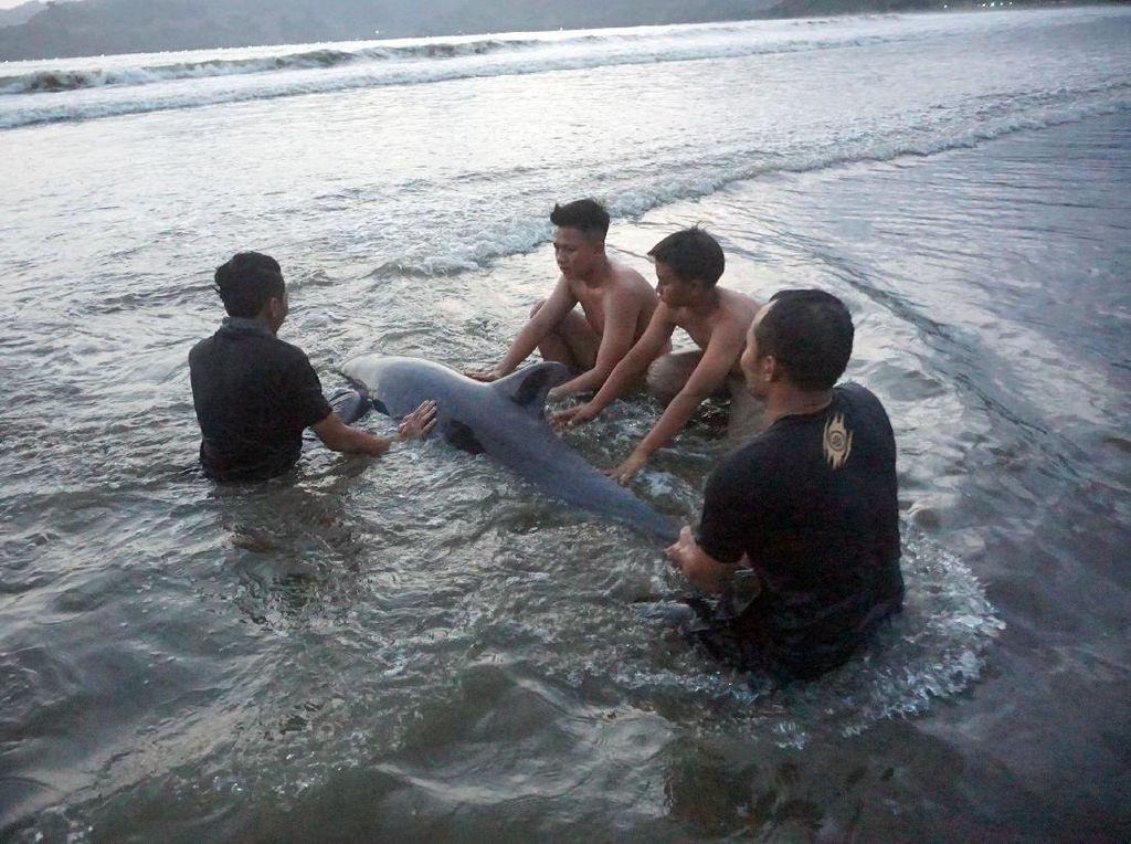 Momen Penyelamatan Lumba-lumba yang Terdampar di Pantai Tulungagung
