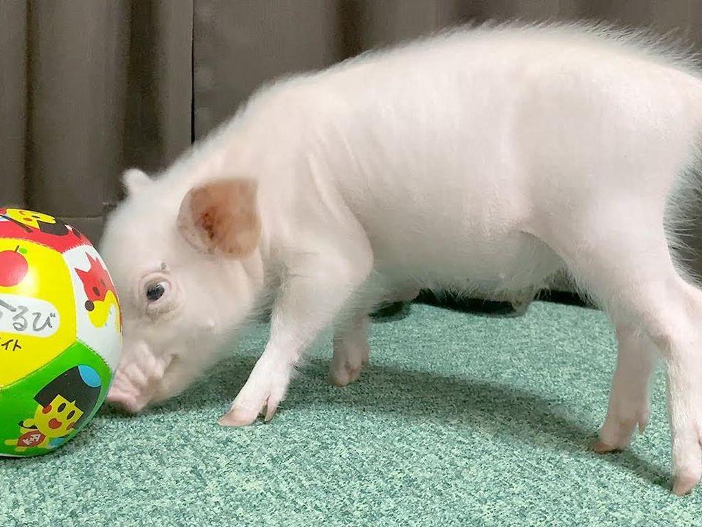 Vlogger Babi Imut Ini Berakhir Jadi Babi Panggang Setelah Terkenal di YouTube