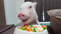 100 Hari Jadi Bintang Vlog, Babi Imut Ini Berakhir Jadi Babi Panggang