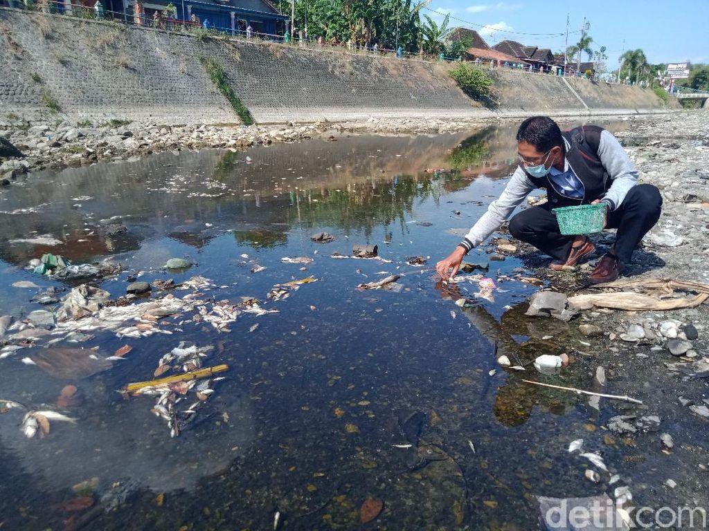 Heboh Ribuan Ikan Mati Mendadak di Anak Sungai Bengawan Solo Klaten