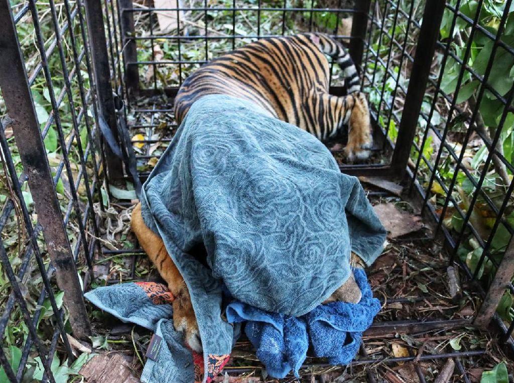 Potret Harimau Diduga Terkam Remaja Riau saat Masuk Perangkap BKSDA