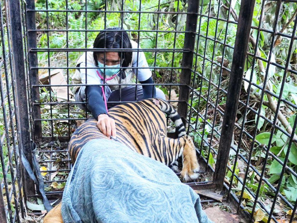 Harimau yang Diduga Terkam Warga Riau Masuk Perangkap BKSDA