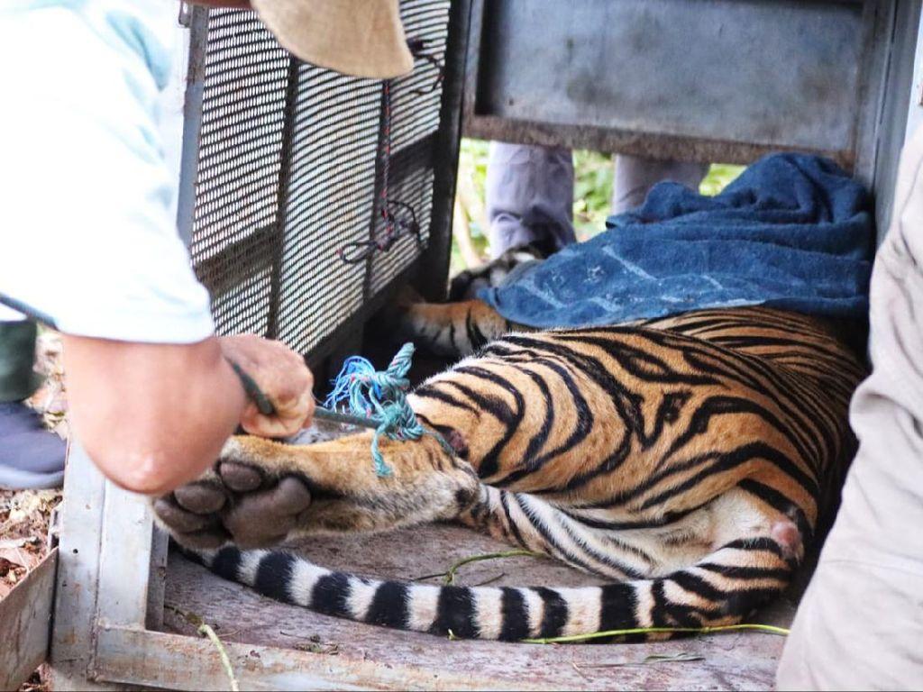Kondisi Harimau Penerkam Remaja di Siak: Kaki Luka Jerat-Hampir Busuk