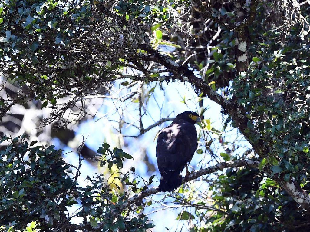 Momen Burung Endemik di Merapi-Merbabu Dilepasliarkan