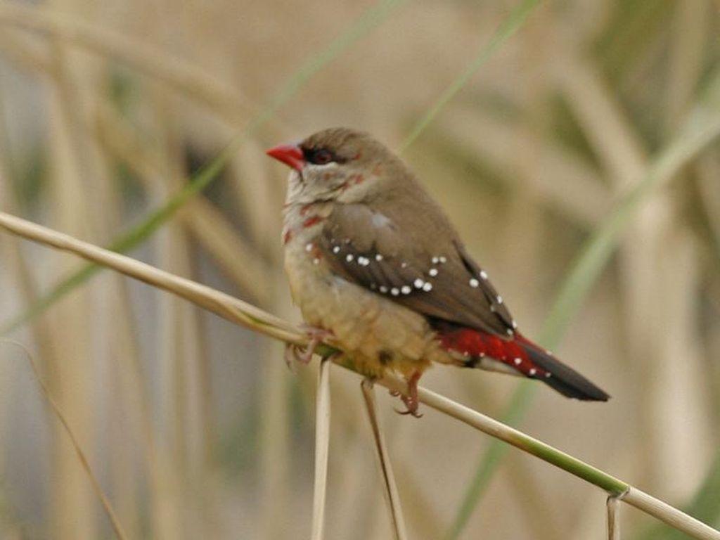 Mengapa Dinamakan Burung Pipit dan Bagaimana Perilakunya? Ini Penjelasannya