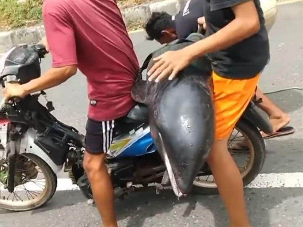 Video Heboh Lumba-lumba Dibonceng Naik Motor di Bima, Ternyata...