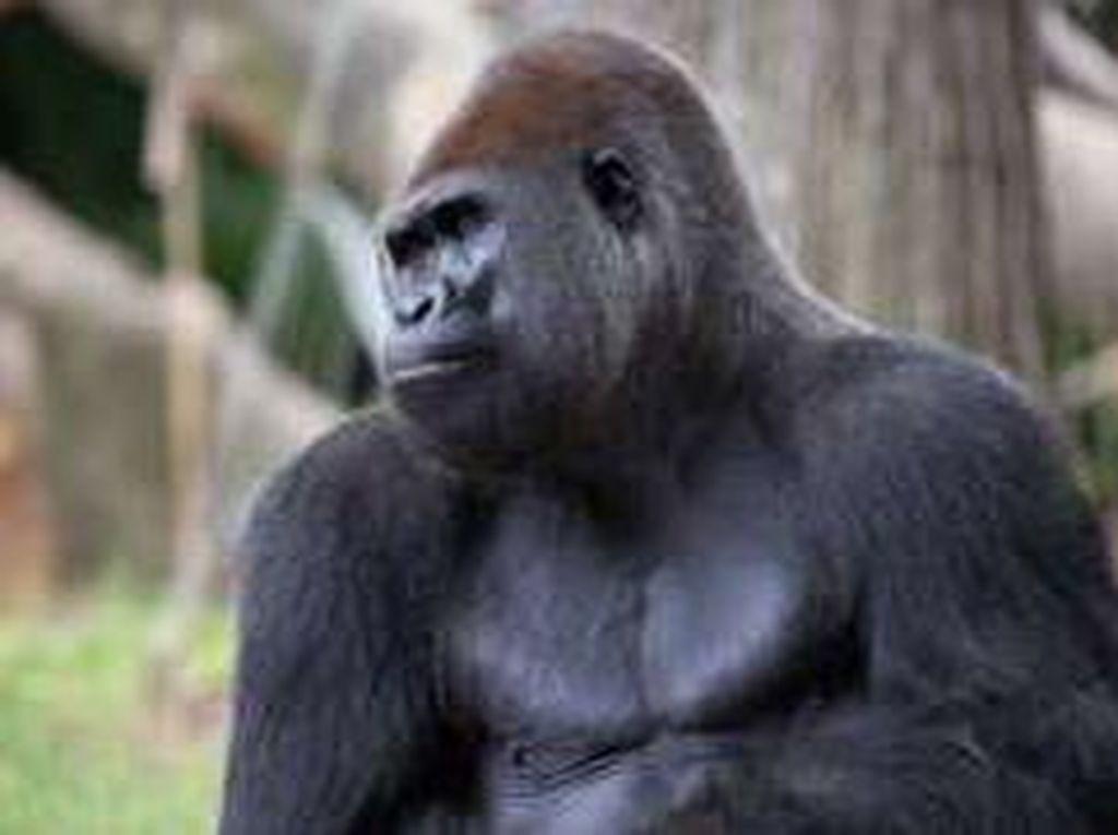 Sedih, 13 Gorila di Kebun Binatang AS Positif Corona