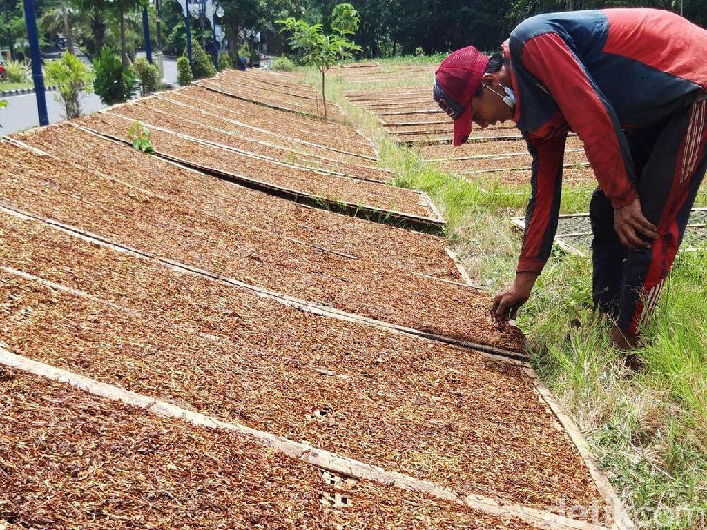 Petani Tembakau Lereng Merapi-Merbabu Turun Gunung Mengejar Matahari