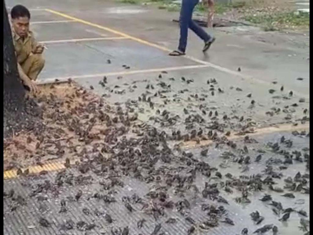 Jabar Sepekan: Burung Pipit Mati Massal-Bareskrim Usut Pembunuhan di Subang
