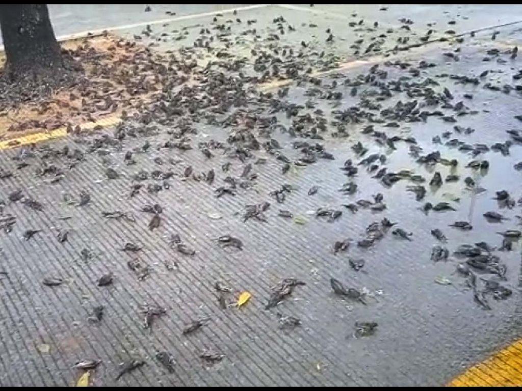 Misteri Burung Mati Massal di Bali-Cirebon, LIPI: Mungkin Akibat Perubahan Iklim