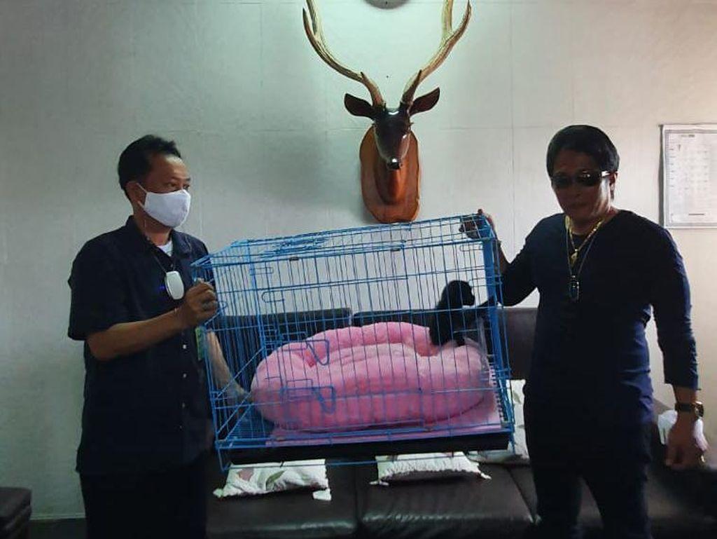 Pelihara Satwa Dilindungi Owa Siamang, Bupati Badung Bali Minta Maaf