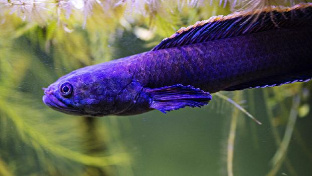 ikan gabus hias Channa