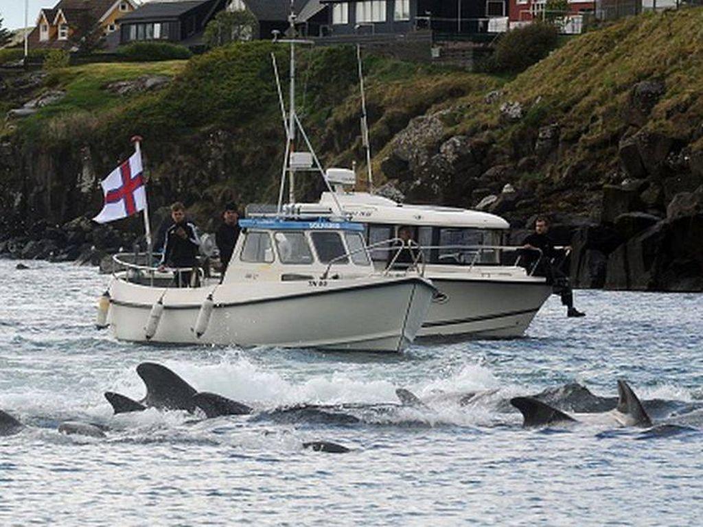 Horor 1.400 Lumba-lumba Dibantai di Kepulauan Faroe dalam Sehari