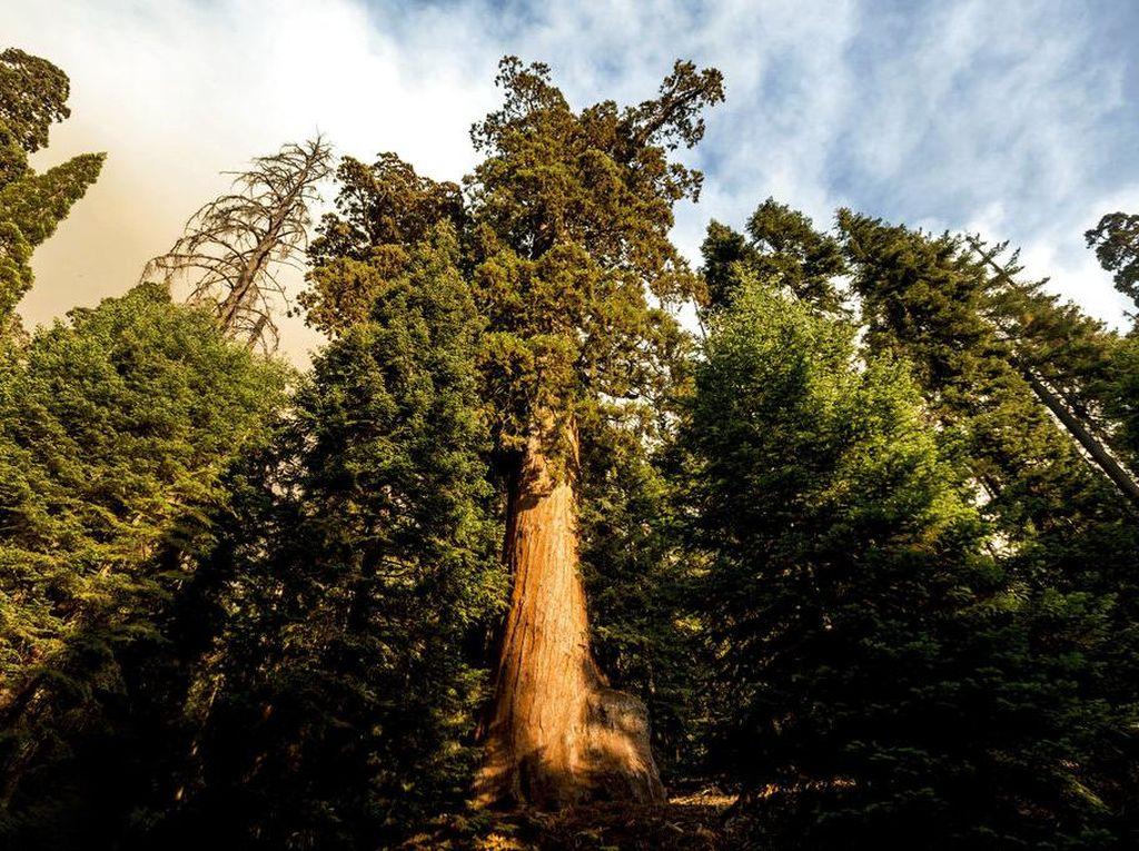 Upaya Melindungi Pohon Sequoia Raksasa dari Kebakaran Hutan