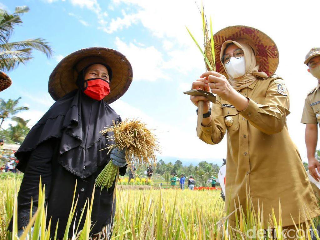 Banyuwangi Gelar Festival Padi untuk Lahan Pertanian Pangan Berkelanjutan