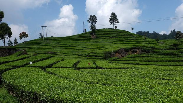 Indonesia travel background - tea plantations in Ciwidey, West Java, Indonesia - tourist attraction