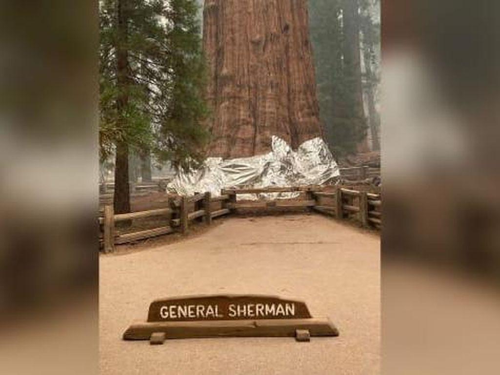 Cegah Kebakaran, Pohon Terbesar di Dunia Dibungkus Aluminium Foil