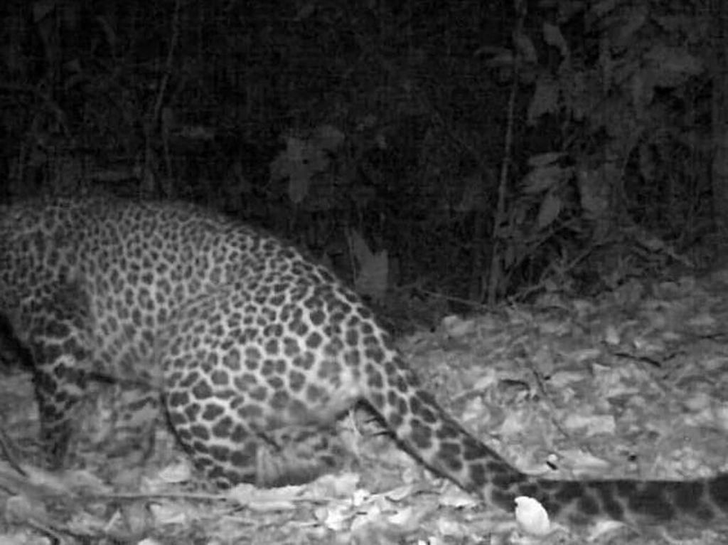Macan Tutul Terekam di Gunung Sanggabuana