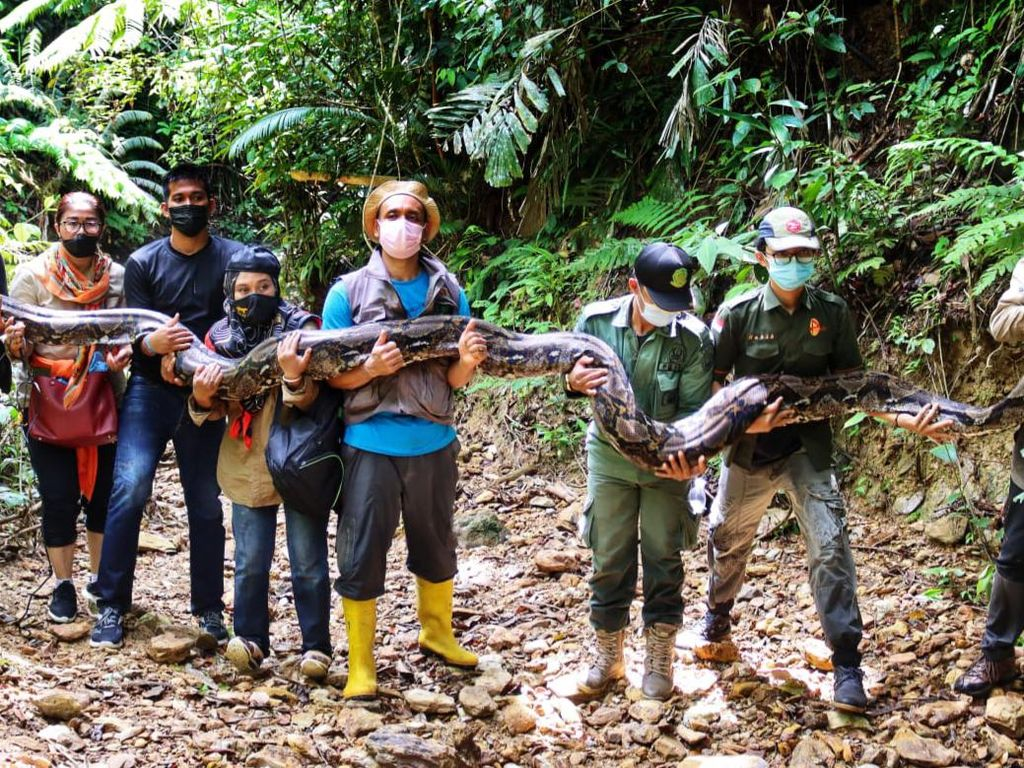 Usai Ditangkap Warga, Ular Piton 9 Meter di Riau Dilepasliarkan ke Hutan