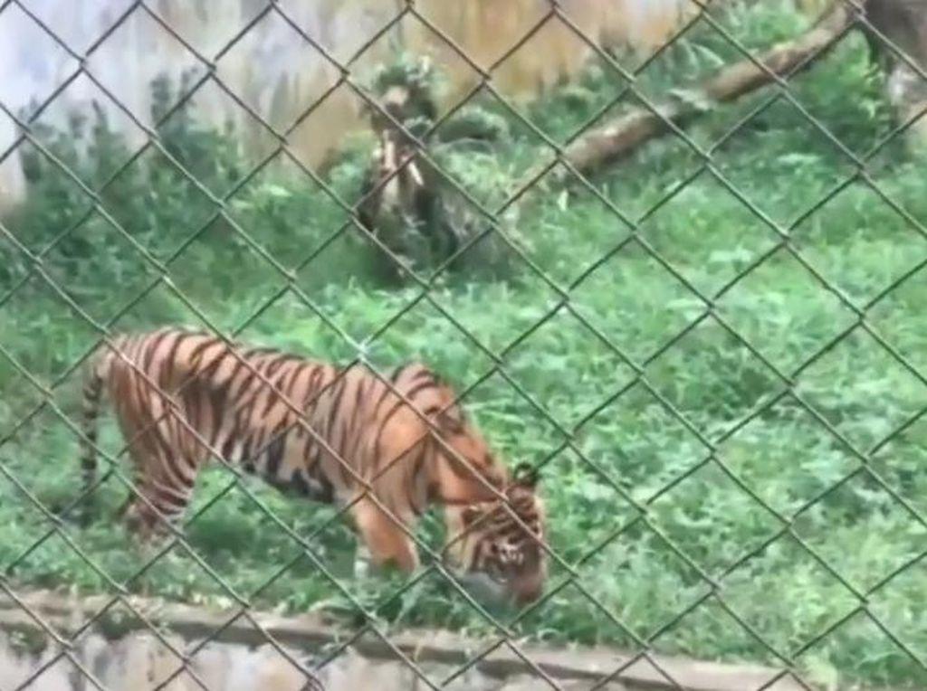 Viral Harimau di Medan Zoo Kurus-Makan Rumput, BKSDA Sumut Turun Tangan