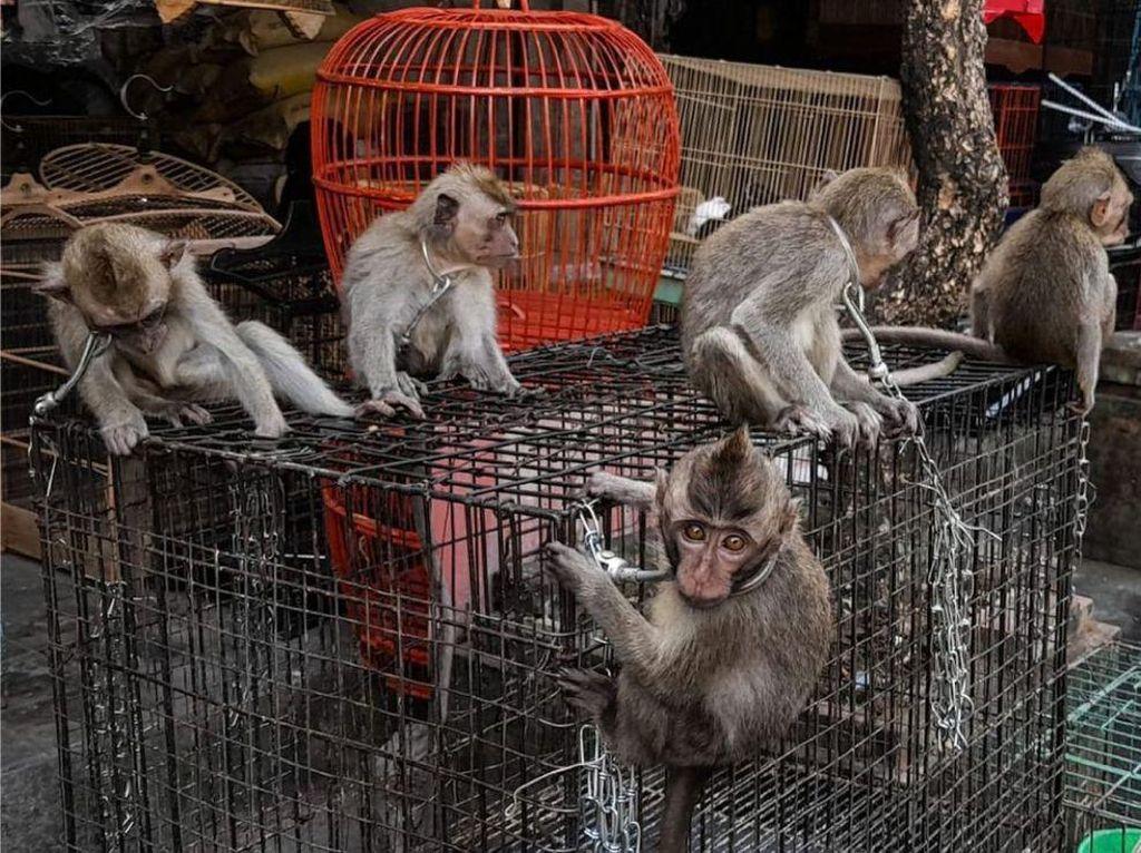 BKSDA Bali Kesulitan Pantau Perdagangan Kera Ekor Panjang di Pasar Hewan