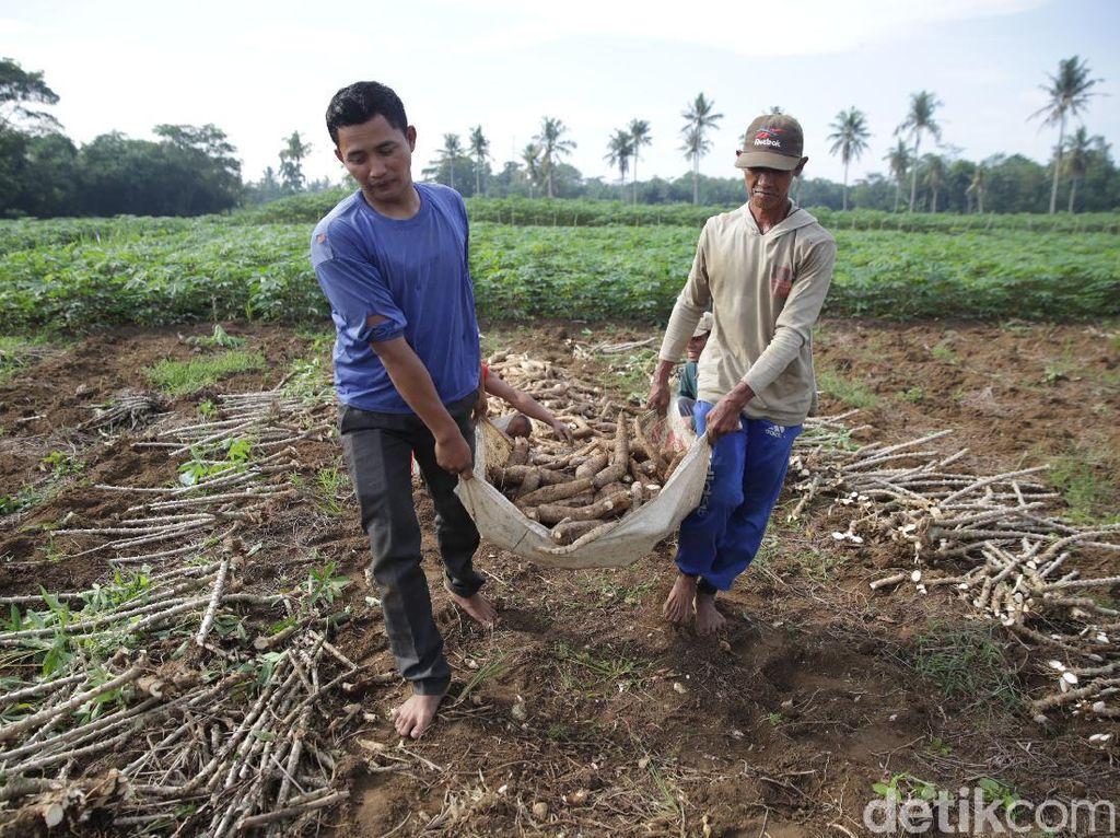Petani Singkong di Lampung Ini Raup Cuan Rp 150 Juta Lho Per Tahun