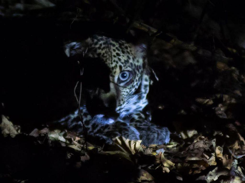 Tiap Tahun Populasi Macan Tutul Jawa di TN Baluran Situbondo Meningkat
