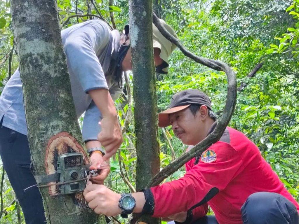 Populasi Macan Tutul Jawa di TN Meru Betiri Dipantau 106 Camera Trap