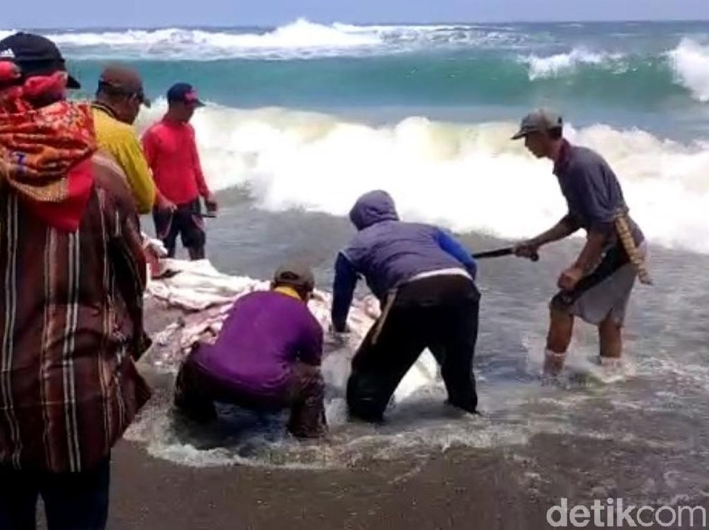 Warga Konsumsi Hiu Paus Terdampar di Cianjur, KKP Tidak Ingin Terulang