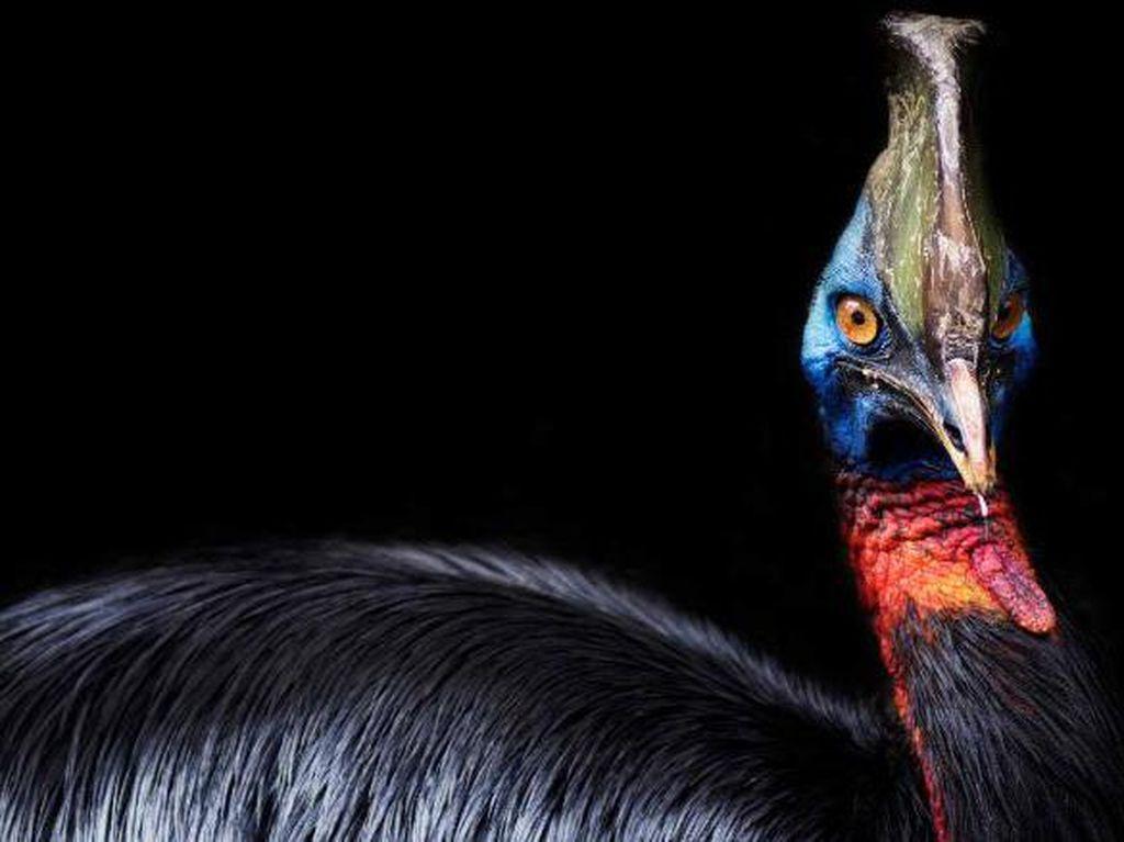 Burung Paling Mematikan di Dunia dan Diternakkan Manusia Ada di Indonesia