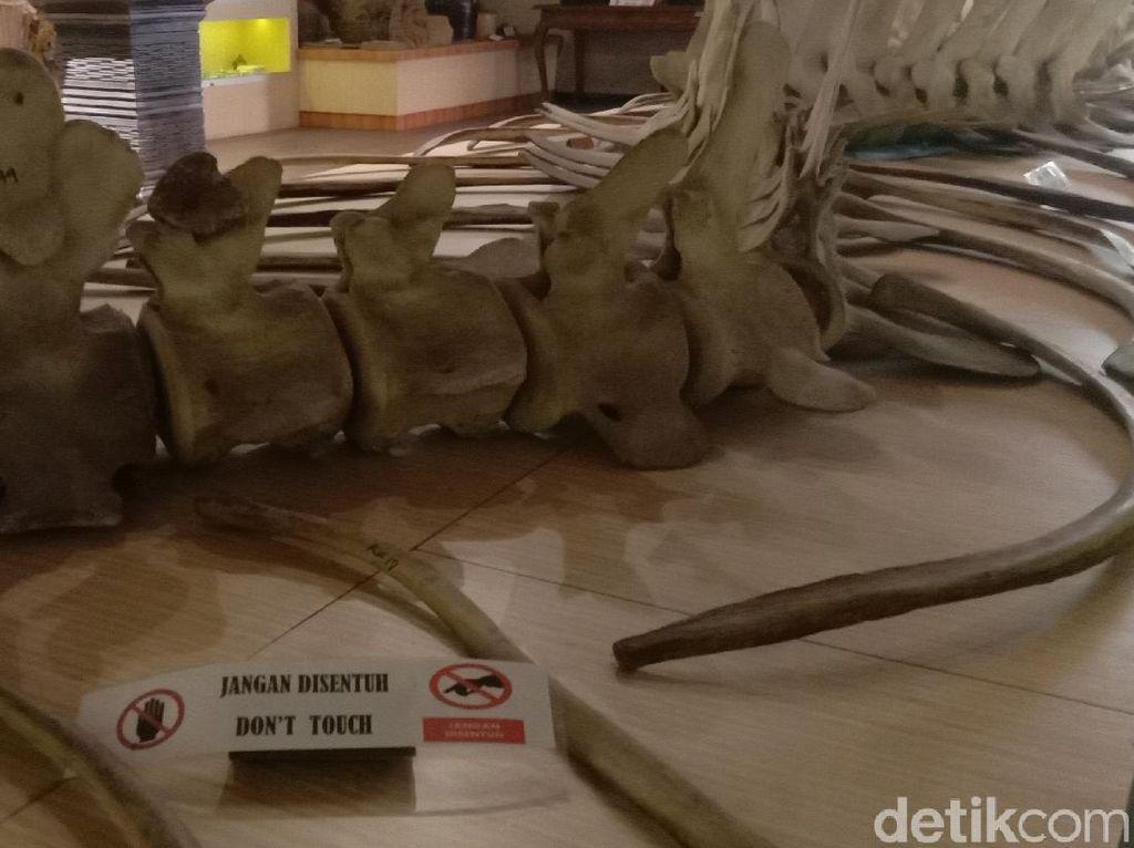 Ada Kerangka Ikan Raksasa Berukuran 16 Meter di Museum Kartini