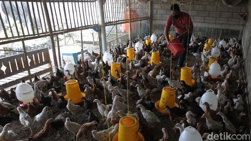 Geliat Peternakan Ayam Joper yang Rendah Kolesterol dan Lemak