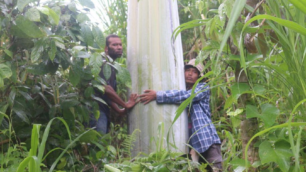 Pohon Pisang Raksasa di Papua