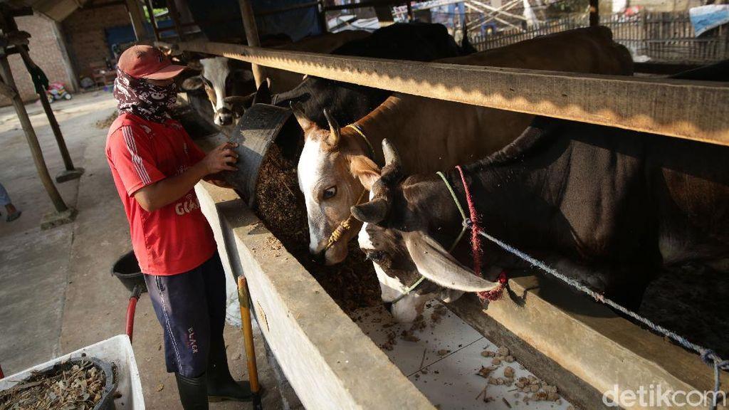 Wow, Bisnis Gemukin Sapi di Lampung Beromzet Puluhan Juta Lho