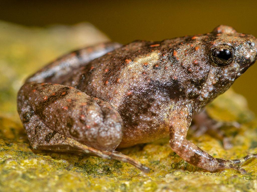 Peneliti BRIN Temukan Spesies Baru Katak Bermulut Sempit