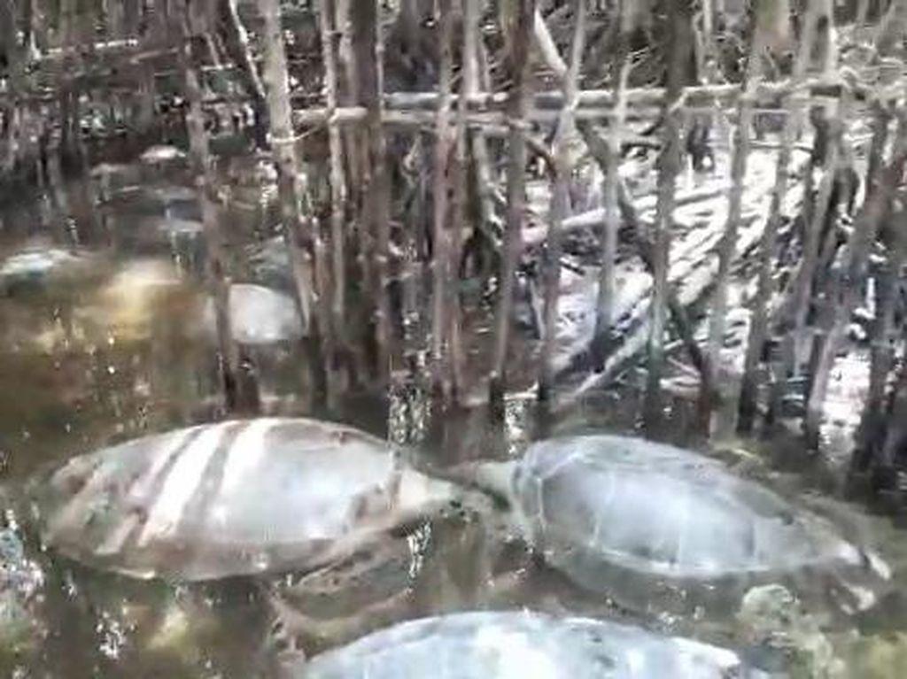 Penemuan Penyu di Penampungan Ilegal Sumenep Dilaporkan ke BKSDA