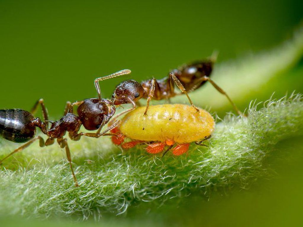 Foto Semut Santap Kotoran Serangga Menang Lomba Fotografi di Inggris