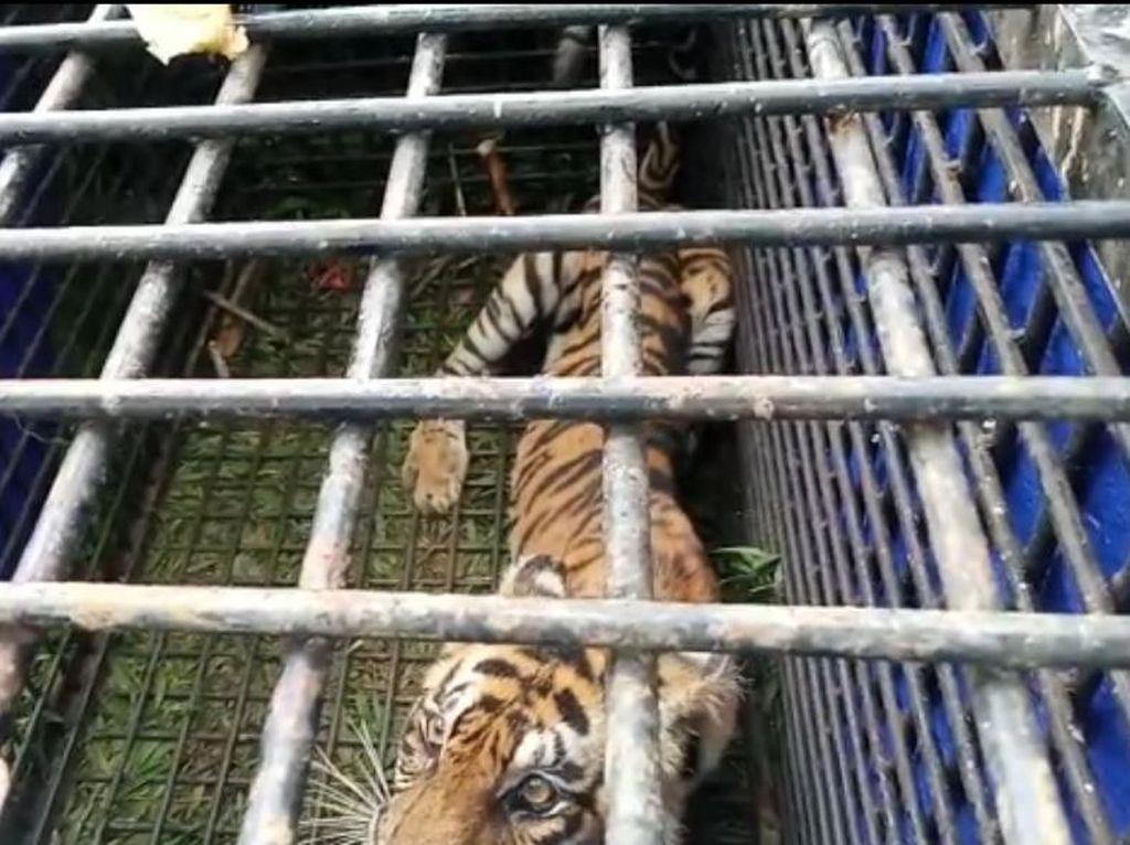 BKSDA Jambi Duga Harimau Masuk Perangkap Penyerang Warga Saat Cari Sinyal