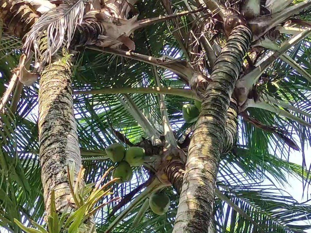 Pohon Kelapa Bercabang 8 di Pacitan Diburu untuk Obat-Ditawar Belasan Juta