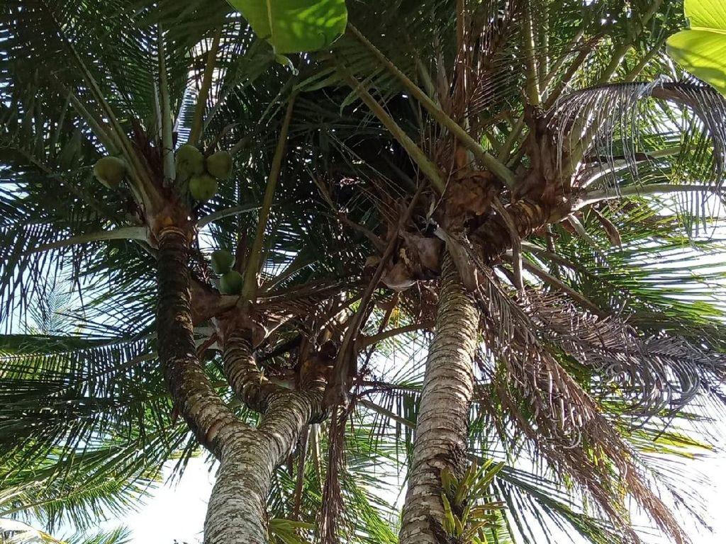 Unik, Pohon Kelapa di Pacitan Bercabang 8
