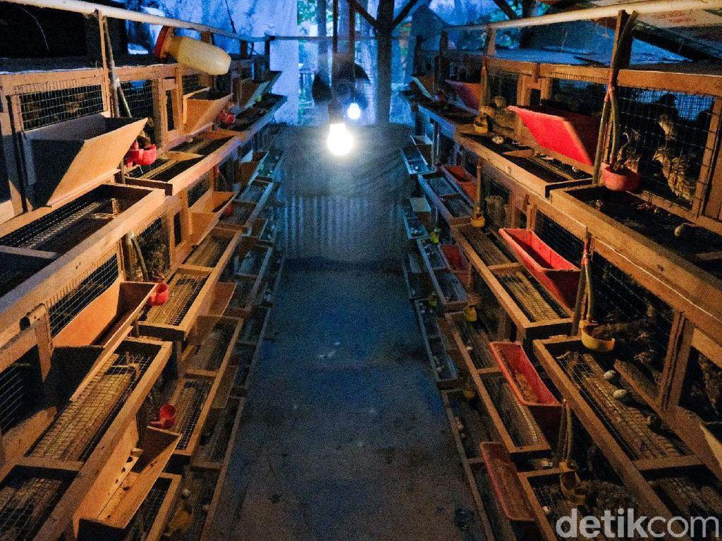 Tren Ternak Puyuh di Masa Pandemi, Perajin Kandang Banjir Orderan